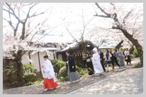 桜の下で参進の儀