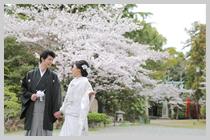 桜満開の姫路神社です。