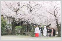 桜満開のご入堂。
